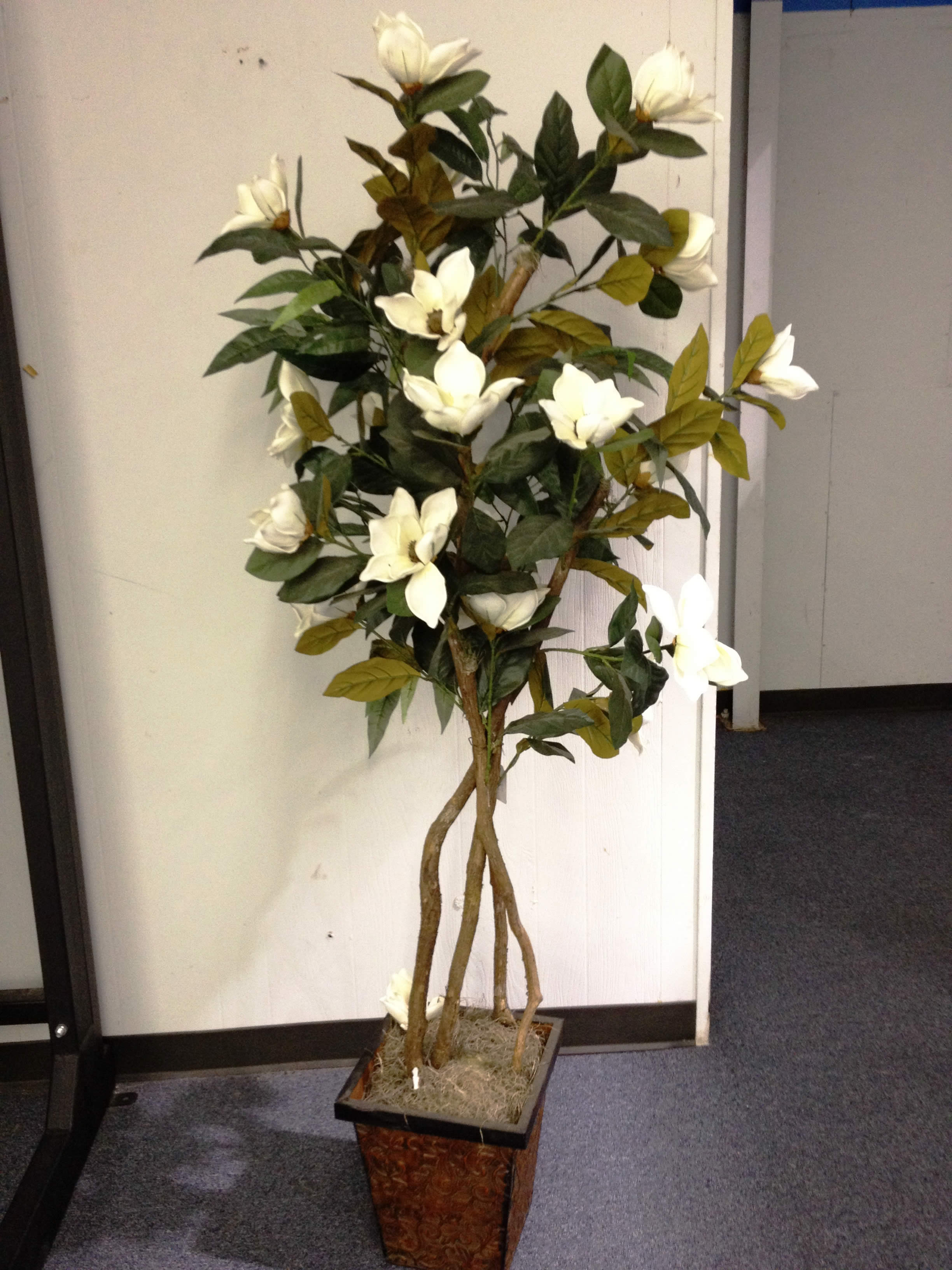 Magnolia tree 6 39 ivory indoor plants for Plant decorations home